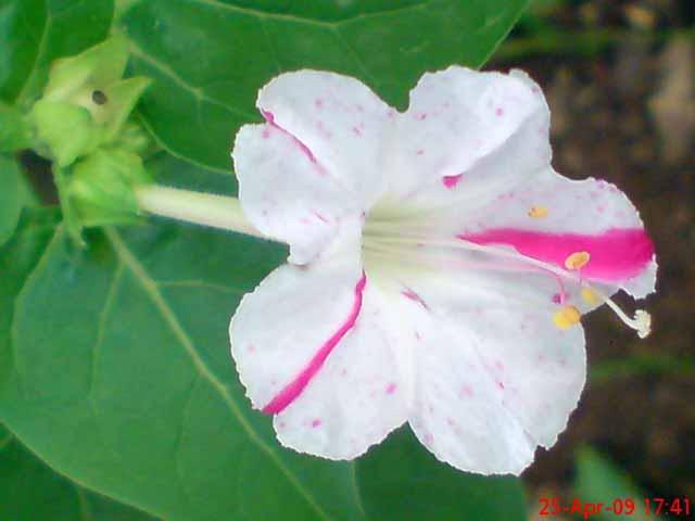 Ilustrasi dari https://jepretanhape.wordpress.com/2009/06/14/bunga-pukul-empat-mirabilis-jalapa-l/